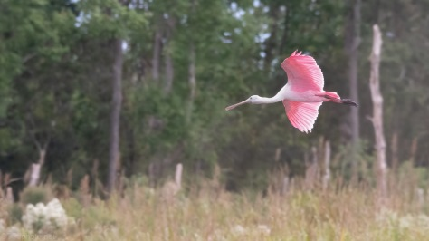 Spoonbill Near Woods