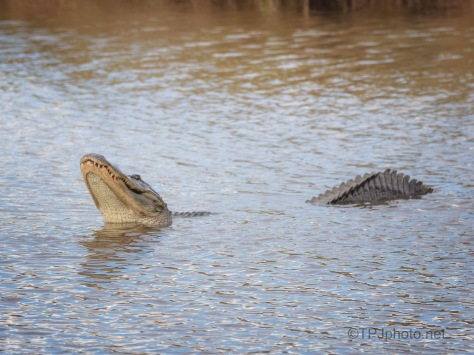 Alligator Conversation