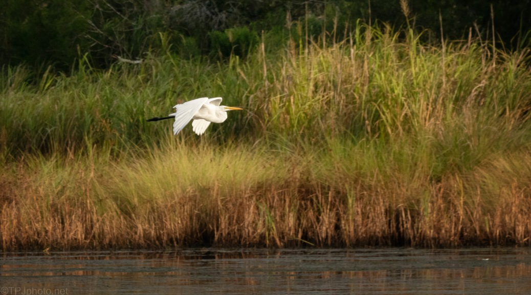 Quick Fly By, Great Egret