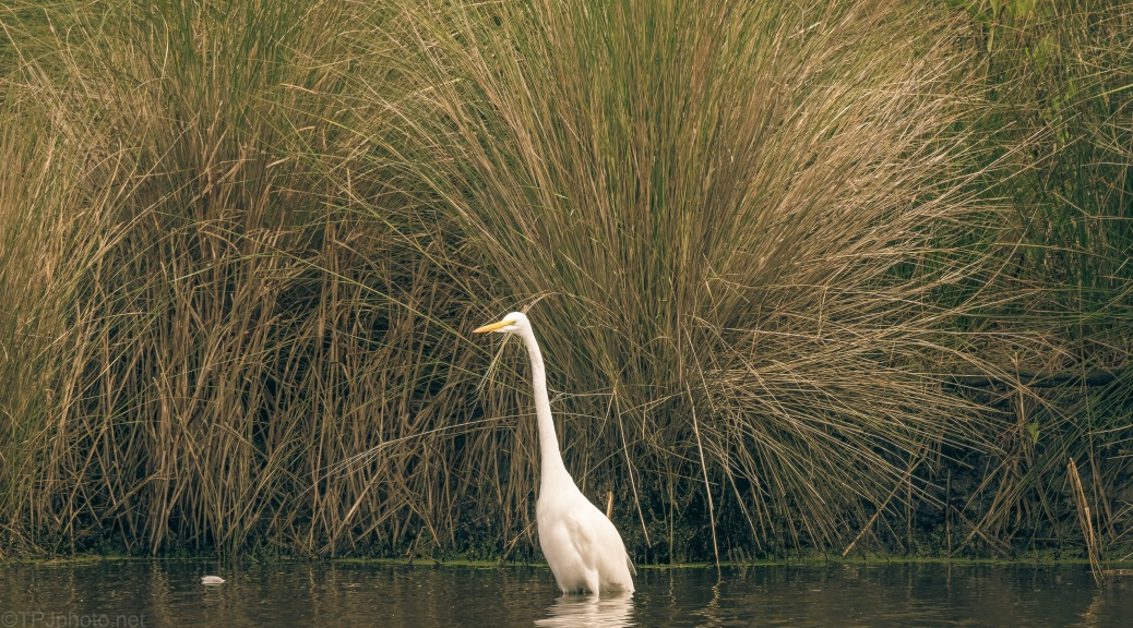 Egret and Fall Grass