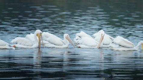 Like A Machine, Pelicans