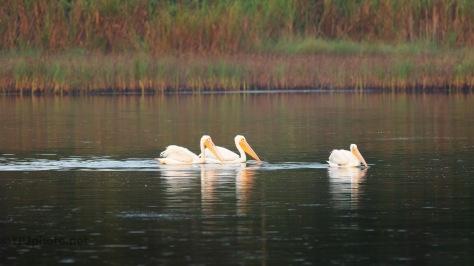 Peaceful Marsh Scene, Pelicans