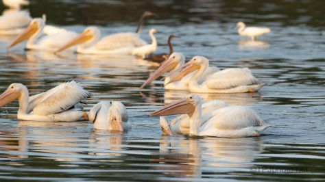 Getting Crowded, Pelican