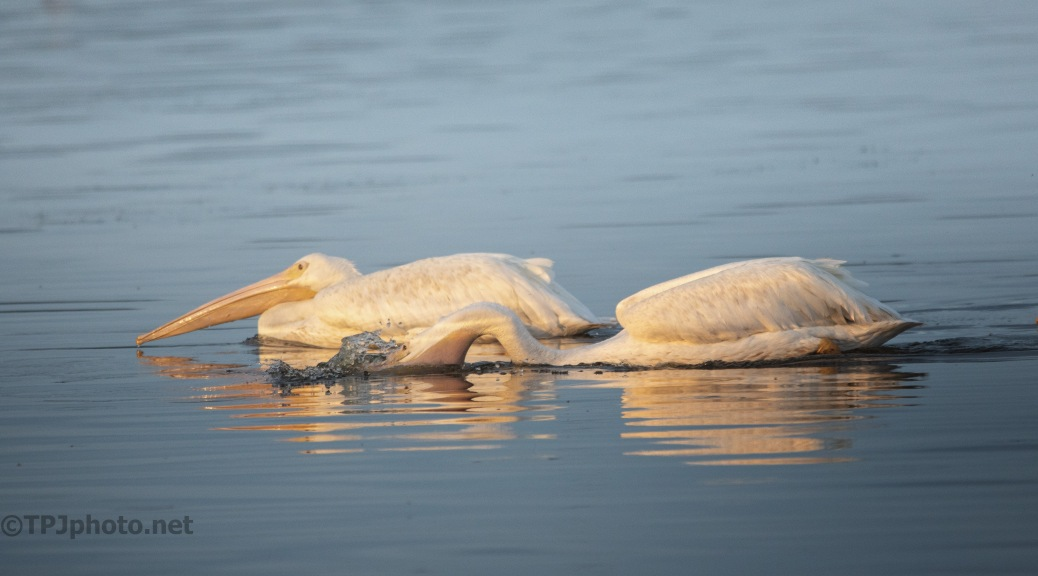 Out Fishing, Pelican