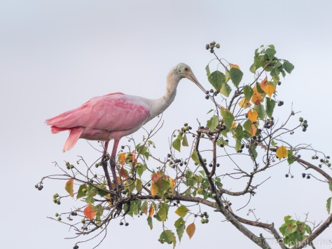 Sitting Pretty, Spoonbill