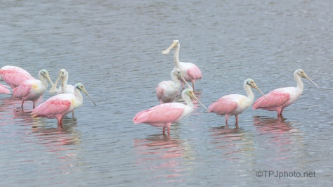 Spotted Me, Spoonbill