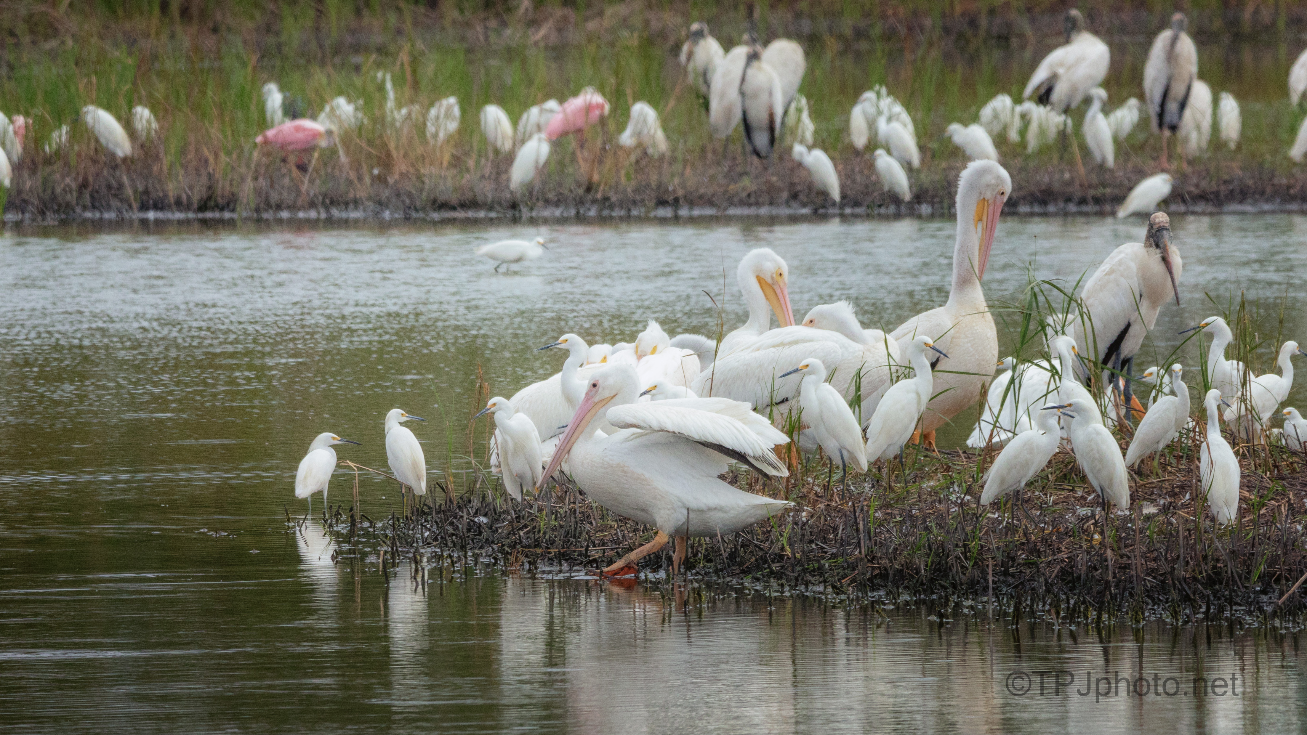 Too Crowded, Pelican