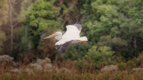 Look Out Below, White Pelican