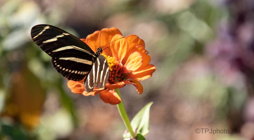 Zebra (Butterfly)