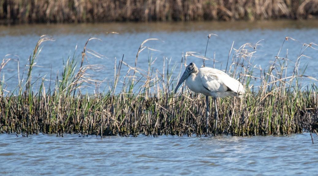 Wood Stork Keeping To Himself