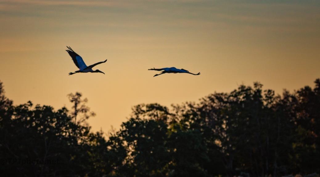 Wood Stork At Dawn