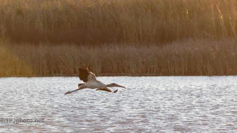 Early Light Wood Stork
