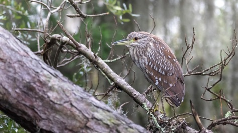 Night Heron, Juvenile