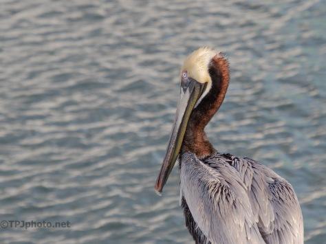 Year Round Pelican