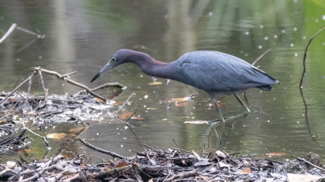 A Most Under Rated Heron