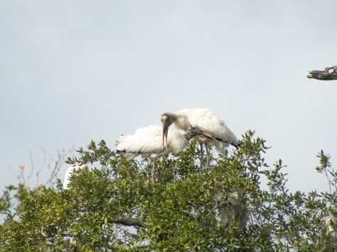 Love Is In The Air, Wood Storks