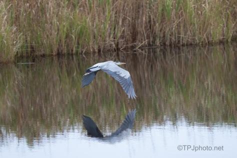 Along The Marsh Edge, Great Blue