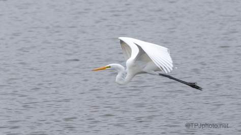 Egret Fly By