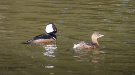 Grebe And Merganser Fishing Together