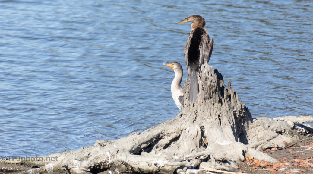 This Is Trouble, Anhinga And Cormorant