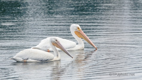 Not In Any Hurry, Pelican