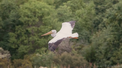 Pelican On The Move