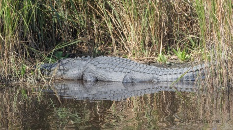 Hiding His Head, Alligator