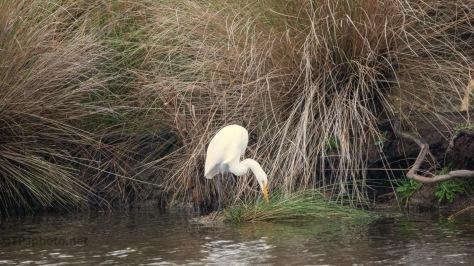 Great Egret Marsh Scene
