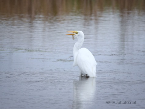 OK - Now I Wait, Great Egret