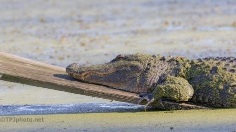 Needs A Manicure, Alligator