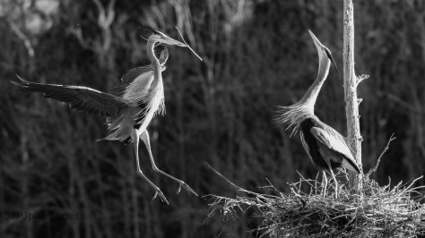 Nesting In Black And White
